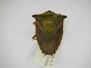 (Edessa sp37 - INBIOCRI001979804)  @11 [ ] Copyright (2012) Jim Lewis Instituto Nacional de Biodiversidad