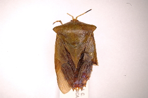 (Piezosternum - INBIOCRI001980236)  @15 [ ] Copyright (2012) J. Lewis Instituto Nacional de Biodiversidad