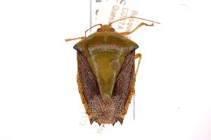 (Edessa JAMFernandessp249 - INBIOCRI002003319)  @11 [ ] Copyright (2012) Jim Lewis Instituto Nacional de Biodiversidad