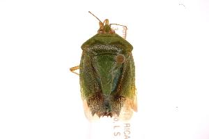 (Edessa junix - INBIOCRI002018518)  @11 [ ] Copyright (2012) Jim Lewis Instituto Nacional de Biodiversidad