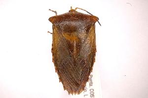 (Piezosternum - INBIOCRI002031926)  @15 [ ] Copyright (2012) J. Lewis Instituto Nacional de Biodiversidad