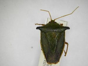 (Edessa pennata - INBIOCRI002116804)  @11 [ ] Copyright (2012) Jim Lewis Instituto Nacional de Biodiversidad