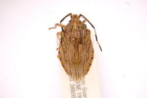 (Dinocoris - INBIOCRI002132080)  @13 [ ] Copyright (2012) Jim Lewis Instituto Nacional de Biodiversidad