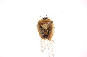 (Kermana - INBIOCRI002146588)  @11 [ ] Copyright (2012) Jim Lewis Instituto Nacional de Biodiversidad
