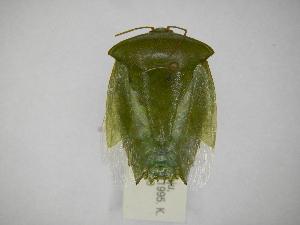 (Pantochlora - INBIOCRI002167483)  @11 [ ] Copyright (2012) Jim Lewis Instituto Nacional de Biodiversidad
