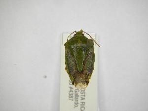 (Edessa rixosa - INBIOCRI002180444)  @11 [ ] Copyright (2012) Jim Lewis Instituto Nacional de Biodiversidad