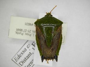 (Edessa expolita - INBIOCRI002185556)  @11 [ ] Copyright (2012) Jim Lewis Instituto Nacional de Biodiversidad