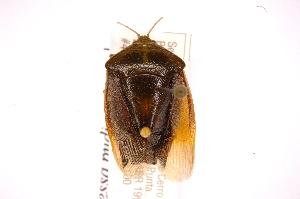 (Edessa pudica - INBIOCRI002186016)  @11 [ ] Copyright (2012) Jim Lewis Instituto Nacional de Biodiversidad