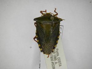 (Edessa alces - INBIOCRI002205357)  @11 [ ] Copyright (2012) Jim Lewis Instituto Nacional de Biodiversidad