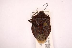 (Pellaea - INBIOCRI002214818)  @14 [ ] Copyright (2012) Jim Lewis Instituto Nacional de Biodiversidad