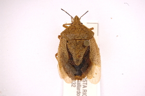 (Tibraca - INBIOCRI002235240)  @14 [ ] Copyright (2012) Jim Lewis Instituto Nacional de Biodiversidad