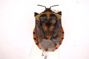 (Vulsirea - INBIOCRI002320289)  @15 [ ] Copyright (2012) Jim Lewis Instituto Nacional de Biodiversidad