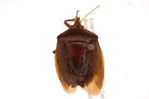 (Edessa sp18 - INBIOCRI002376532)  @11 [ ] Copyright (2012) Jim Lewis Instituto Nacional de Biodiversidad