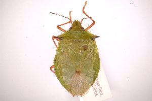 (Chlorocoris - INBIOCRI002399306)  @14 [ ] Copyright (2012) Jim Lewis Instituto Nacional de Biodiversidad