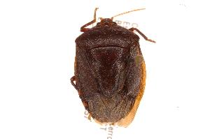(Edessa sp18 - INBIOCRI002482879)  @11 [ ] Copyright (2012) Jim Lewis Instituto Nacional de Biodiversidad