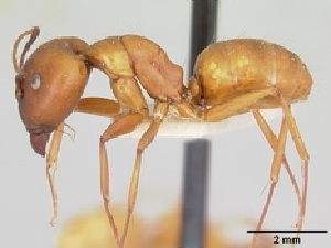 (Camponotus kelleri - CASENT0134103-D01)  @13 [ ] Unspecified (default): All Rights Reserved  Unspecified Unspecified