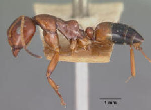 (Camponotus putatus - CASENT0119435-D01)  @13 [ ] Unspecified (default): All Rights Reserved  Unspecified Unspecified