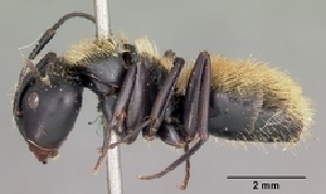 (Camponotus darwinii - CASENT0122151-D01)  @13 [ ] Unspecified (default): All Rights Reserved  Unspecified Unspecified