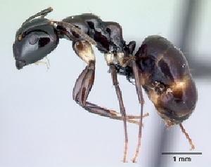 (Camponotus MG085 - CASENT0188363-D01)  @13 [ ] CreativeCommons - Attribution Non-Commercial No Derivatives (2011) Alex Smith University of Guelph