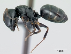 (Camponotus MG043 - CASENT0494053-D01)  @13 [ ] CreativeCommons - Attribution Non-Commercial No Derivatives (2011) Alex Smith University of Guelph
