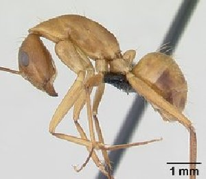 (Camponotus hova radamae - CASENT0132245)  @13 [ ] Unspecified (default): All Rights Reserved  Unspecified Unspecified