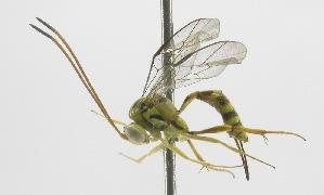 (Brachycyrtinae - INB0004277955)  @14 [ ] Copyright (2011) R.Zuniga INBio