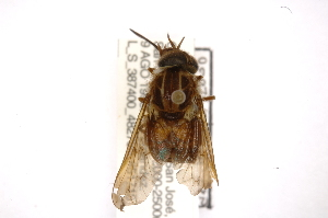 (Pangoniinae - INB0003018982)  @15 [ ] Copyright (2012) M. Zumbado Instituto Nacional de Biodiversidad