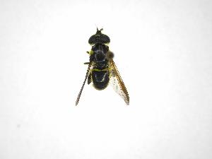 (Quichuana - INB0003044712)  @14 [ ] Copyright (2012) M. Zumbado Instituto Nacional de Biodiversidad