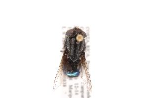 (Compsomyiops - INB0003088866)  @13 [ ] Copyright (2012) J. Vargas Instituto Nacional de Biodiversidad