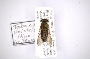 (Tabanus unistriatus - INB0003314292)  @11 [ ] Copyright (2012) M. Zumbado Instituto Nacional de Biodiversidad