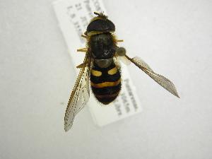 (Syrphus opinator - INB0003332206)  @13 [ ] Copyright (2012) M. Zumbado Instituto Nacional de Biodiversidad