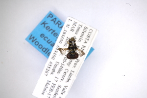 (Hermetia pterocausta - INB0003370253)  @11 [ ] Copyright (2012) M. Zumbado Instituto Nacional de Biodiversidad