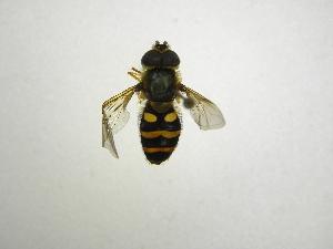 (Syrphus shorae - INB0003460444)  @13 [ ] Copyright (2012) M. Zumbado Instituto Nacional de Biodiversidad