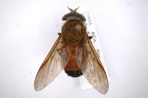 (Tabanus surifer - INB0003477249)  @13 [ ] Copyright (2012) M. Zumbado Instituto Nacional de Biodiversidad