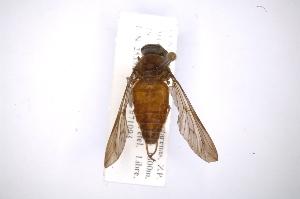 (Tabanus lacajaensis - INB0003529250)  @11 [ ] Copyright (2012) M. Zumbado Instituto Nacional de Biodiversidad