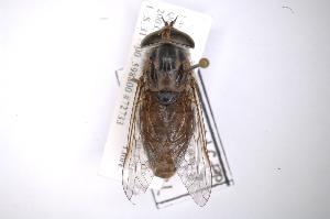 (Tabanus pruinosus - INB0003566425)  @11 [ ] Copyright (2012) M. Zumbado Instituto Nacional de Biodiversidad