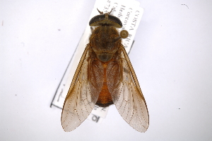 (Tabanus surifer - INB0003710478)  @13 [ ] Copyright (2012) M. Zumbado Instituto Nacional de Biodiversidad