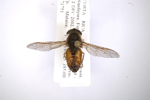 (Tabanus praeteritus - INB0003717731)  @14 [ ] Copyright (2012) M. Zumbado Instituto Nacional de Biodiversidad