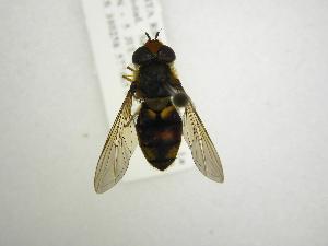 (Syrphus lacyorum - INB0003724237)  @13 [ ] Copyright (2012) M. Zumbado Instituto Nacional de Biodiversidad