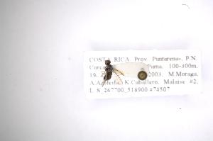 (Rhaphiocerinae - INB0003825952)  @11 [ ] Copyright (2012) M. Zumbado Instituto Nacional de Biodiversidad