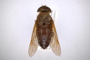 (Tabanus punctipleura - INB0003893510)  @14 [ ] Copyright (2012) M. Zumbado Instituto Nacional de Biodiversidad