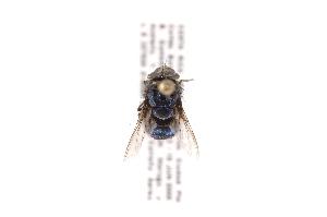 (Paralucilia - INB0003964721)  @13 [ ] Copyright (2012) J. Vargas Instituto Nacional de Biodiversidad