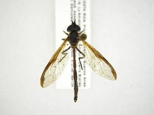 (Salpingogaster - INB0003966731)  @15 [ ] Copyright (2012) M. Zumbado Instituto Nacional de Biodiversidad