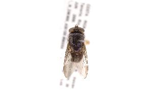 (Hemilucilia - INB0004023115)  @13 [ ] Copyright (2012) J. Vargas Instituto Nacional de Biodiversidad