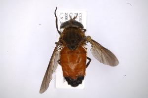 (Tabanus sp - INB0004146256)  @15 [ ] Copyright (2012) M. Zumbado Instituto Nacional de Biodiversidad