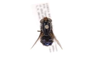 (Compsomyiops verena - INB0004199997)  @13 [ ] Copyright (2012) J. Vargas Instituto Nacional de Biodiversidad