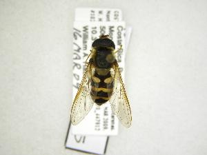 (Syrphus sp - INB0004289635)  @13 [ ] Copyright (2012) M. Zumbado Instituto Nacional de Biodiversidad