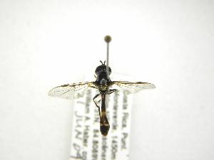(Pseudodoros - INB0004289892)  @13 [ ] Copyright (2012) M. Zumbado Instituto Nacional de Biodiversidad