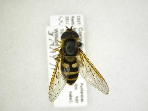 (Syrphus sp - INB0004290422)  @13 [ ] Copyright (2012) M. Zumbado Instituto Nacional de Biodiversidad