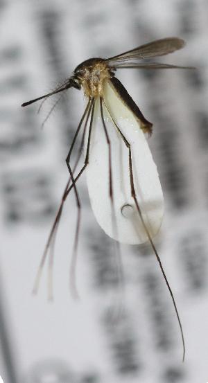 (Wyeomyia - INB0004319214)  @14 [ ] Copyright (2012) L.G. Chaverri Instituto Nacional de Biodiversidad